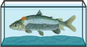 Gefilte fish graphic by Chris Williams.